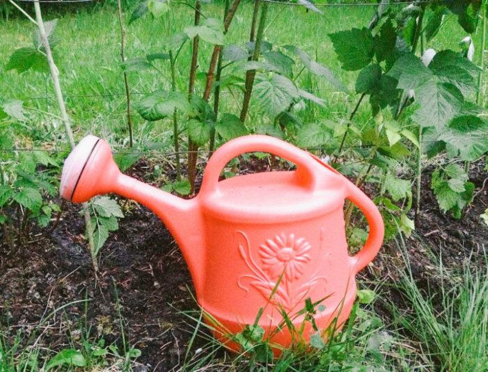 Кусты малины, а также другие плодовые кустарники и деревья, следует обрабатывать раствором нашатырного спирта до начала периода плодоношения / Фото: frukti-yagodi.ru