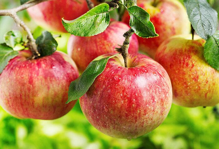 Своевременная подкормка яблони даст хороший результат в виде обильного урожая крупных, ароматных и вкусных плодов / Фото: yarosad.com.ua