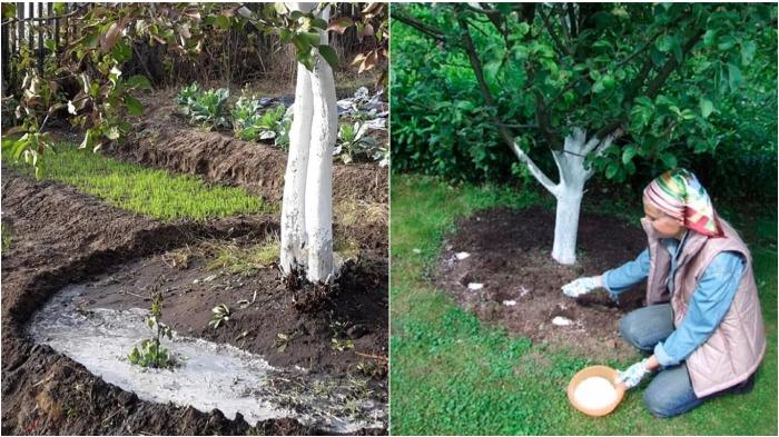 Если поливать и удобрять дерево под ствол, результата не будет / Фото: муп-апу.рф