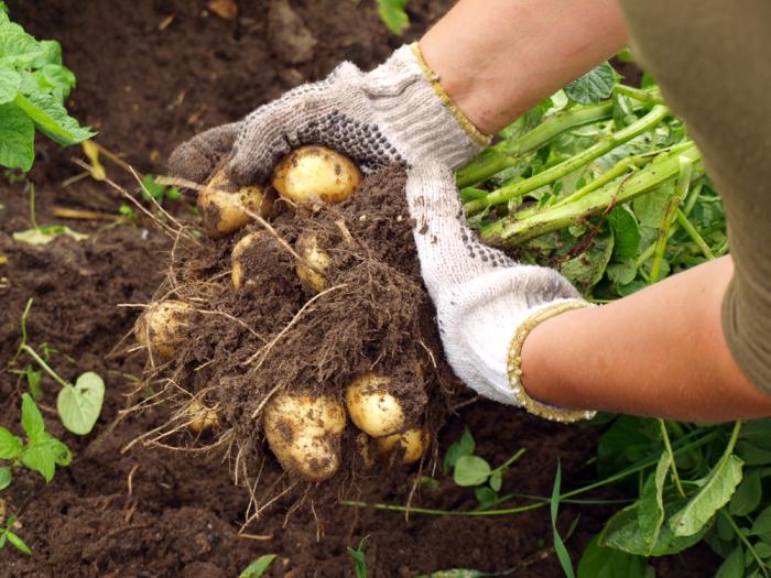 Что подсадить в лунку к картофелю, чтобы вдвое повысить урожайность