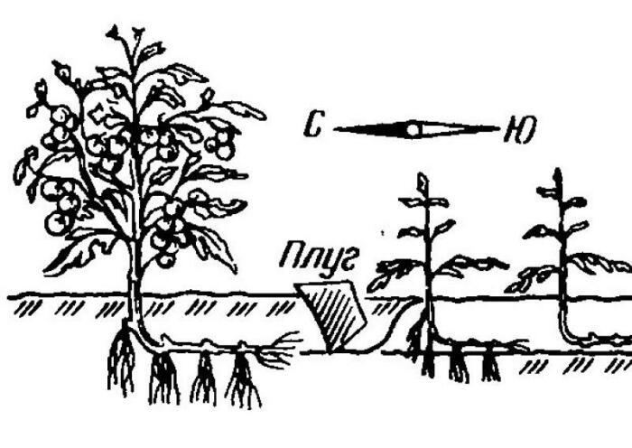 Верхняя часть растения должна быть обращена к северу, а корень к югу / Фото: glav-dacha.ru