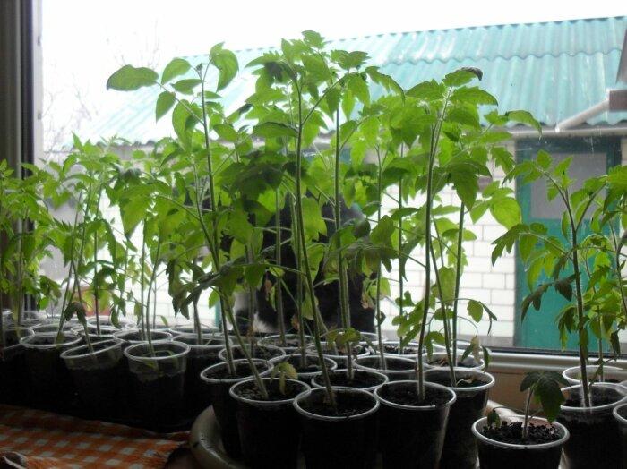 Согласно методу Маслова, следует заранее прорастить рассаду, помидоры должны быть высокорослые / Фото: prostayaferma.ru