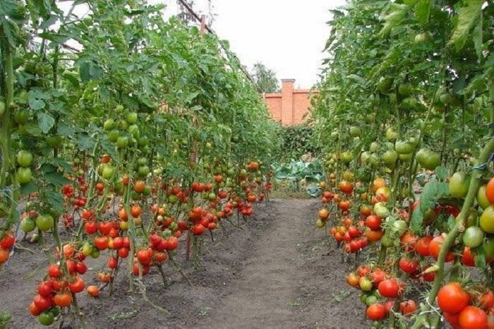 Можно использовать оба метода одновременно, тогда томаты будут крупные и их будет намного больше / Фото: idoska-krasnoyarsk.ru