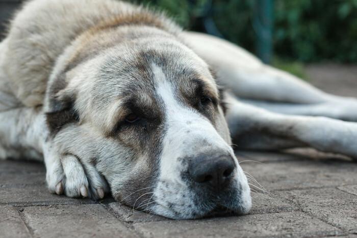 Даже если все считают, что алабай крепко спит, это еще не повод чувствовать себя как дома / Фото: penta-club.ru