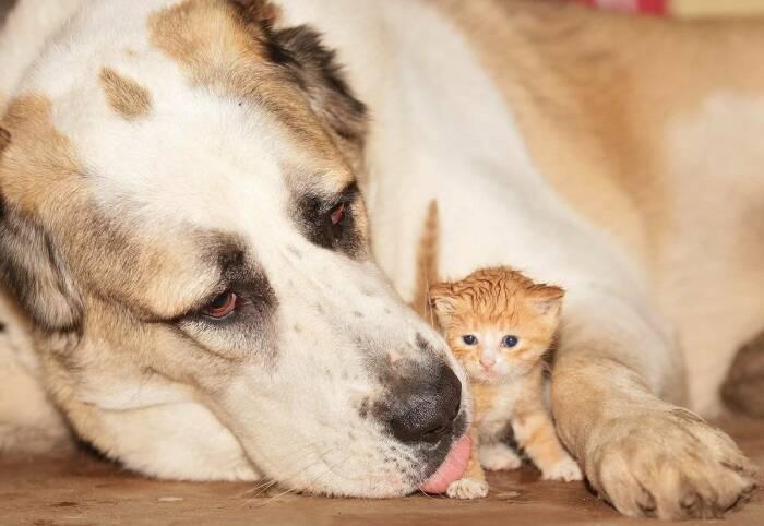 Алабай дружит с любой живностью, от мышки до птички, если она растет вместе с ним в доме / Фото: popugai-market.ru