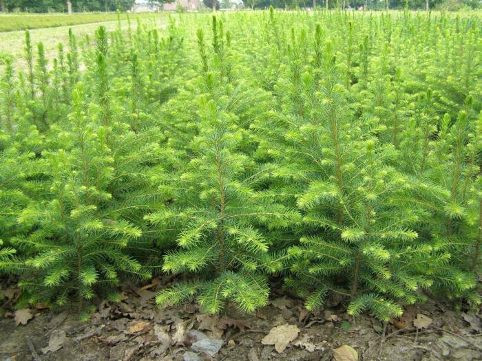 Есть небольшой секрет в технологии высадки, который и помогает деревцам выжить / Фото: kazakh-zerno.net