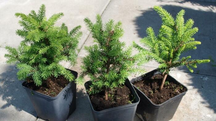 Прежде чем посадить дерево, купленное в питомнике, его нужно несколько дней не поливать / Фото: 2sotki.ru