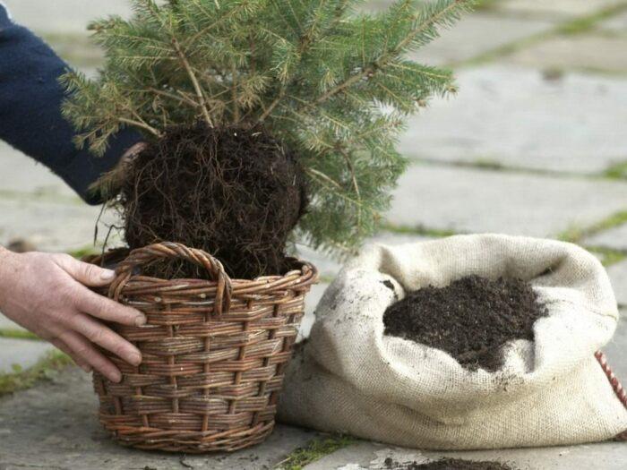 За сутки до того момента, как дерево будет высаживаться в грунт, его прямо в горшке нужно поместить в таз с водой / Фото: botanichka.ru