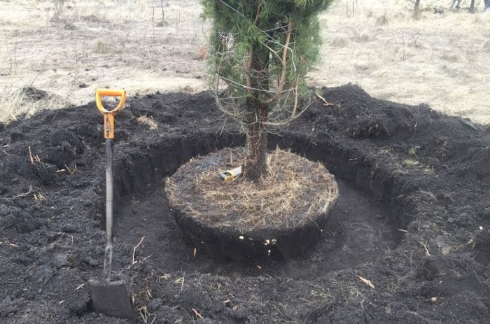 В образованную «жижу» усаживается будущее дерево и сверху присыпается землей / Фото: YouTube