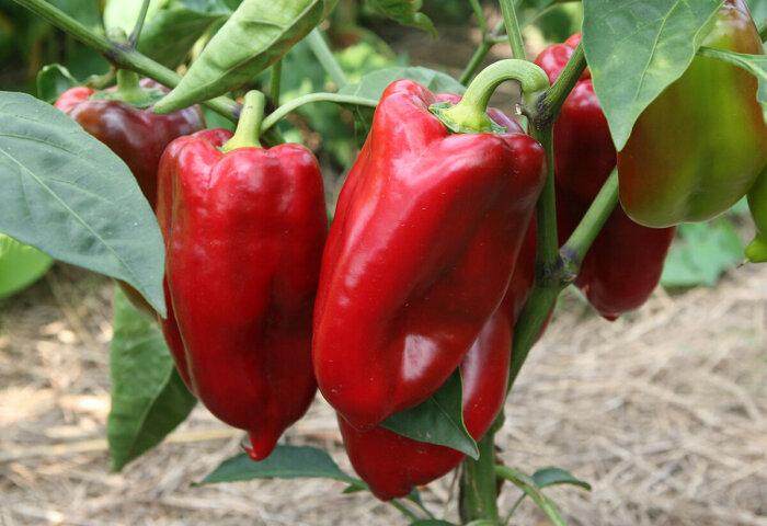 Благодаря использованию пшена урожай перца значительно повысится / Фото: pixabay.com