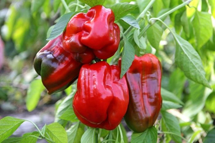 Чтобы собрать большой урожай сладкого перца, необходимо использовать подкормку / Фото: fedsp.com
