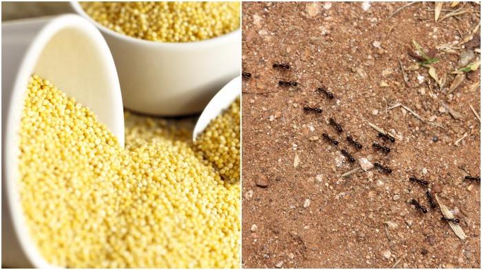 Если под корень растения насыпать пшено, муравьи быстро исчезнут / Фото: ruspeach.com