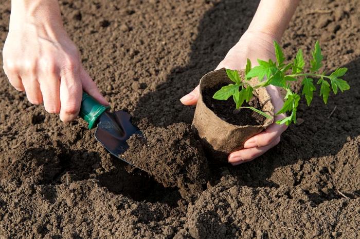 Не стоит торопиться с пересадкой рассады в открытую почву / Фото: yandex.ru