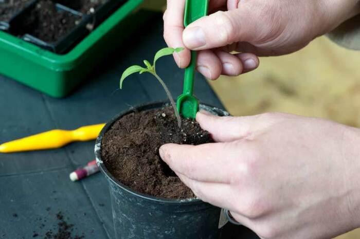 Пикирование раньше положенного срока недопустимо, это может привести к гибели растения / Фото: galofort.ru