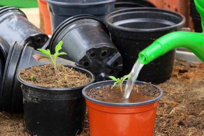 Нельзя чрезмерно поливать рассаду томатов / Фото: big-family.in.ua