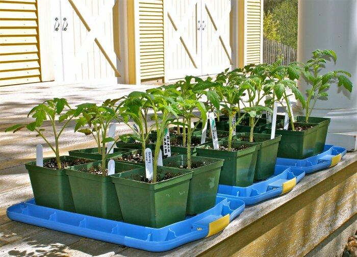 Чтобы рассада нормально росла и развивалась, важно следить за световым режимом / Фото: pomidorchik.com