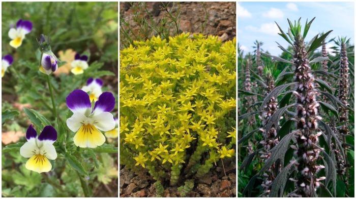 Растения помогут определить количество азота в почве - фиалка трехцветная, очисток, пустырник / Фото: vir-norindoc.org