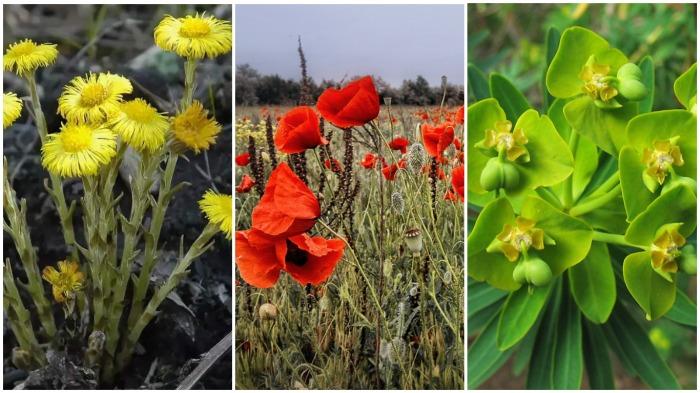Природные индикаторы, которые сигнализируют о составе почвы безошибочно - мать-и-мачеха, дикий мак, молочай / Фото: plantarium.ru