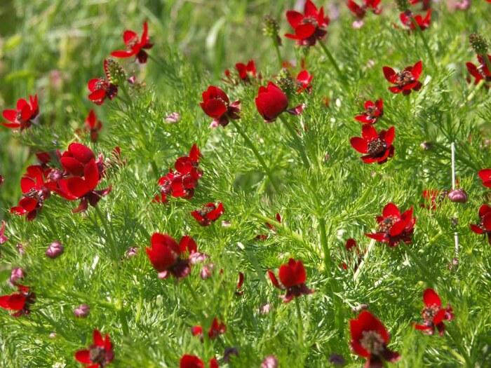 Если на участке растет горицвет летний, то это означает, почва сухая / Фото: flickr.com