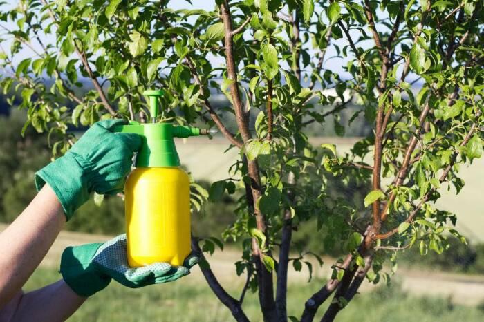Уже после первого опрыскивания листьев чесночным раствором тля растению не страшна / Фото: domashniecvety.ru