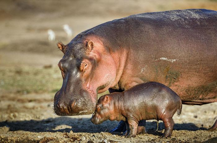 Молоко бегемота розовое в результате смешивания с красным защитным секретом / Фото: novosti-n.org