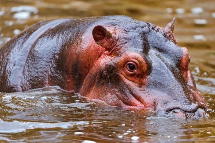 Красный пот у бегемотов - это вымысел, их кожа выделяет маслянистый секрет / Фото: 2krota.ru