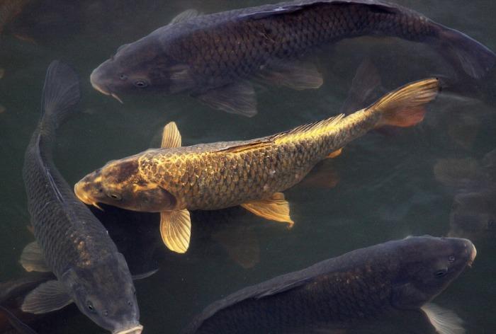 Карп - наиболее распространенный вид рыбы, которую разводят на рисовых полях во всем мире / Фото: velesovik.ru