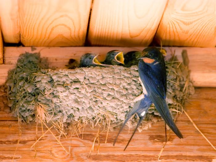 Раньше у птиц было больше мест для строительства дома, а сегодня крыши из шифера уходят в прошлое, чердаки тоже везде закрыты / Фото: mirtesen.ru