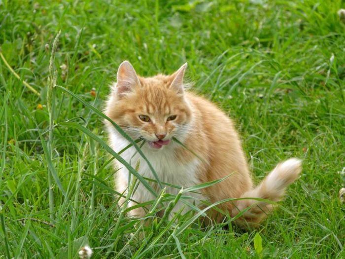 Коты едят траву для ускорения очищения желудка от шерсти / Фото: zoogalereya.ru