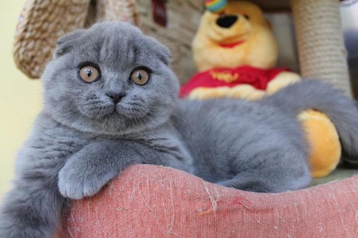 Котики этой породы очень целеустремленные, азартные и где-то назойливые, своего они в любом случае добьются / Фото: mentorist.ru
