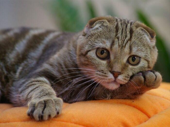 По своему характеру котики-шотландцы более чем спокойные / Фото: fi.pinterest.com