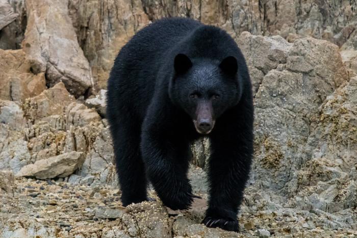 Медведи любят соль не меньше лосей. / Фото: www.clasbio.ru