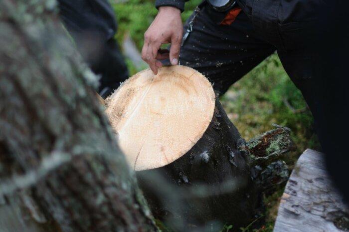Минус северной сосны в том, что она очень твердая и обработке поддается с большим трудом / Фото: rcmm.ru