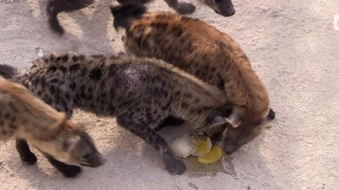 Желание полакомиться страусиными яйцами и птенцами заставляет гиен забыть об опасности / Фото: YouTube