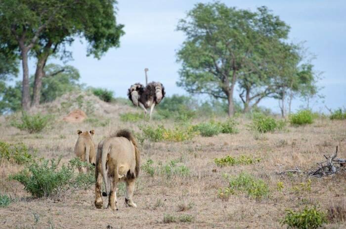 Если страусу грозит опасность, то он и льва может нокаутировать / Фото: domcs.ru