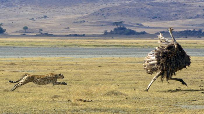 Догнать страуса, разогнавшегося до 70 километров в час, могут только гепарды / Фото: lucidincorporated.com