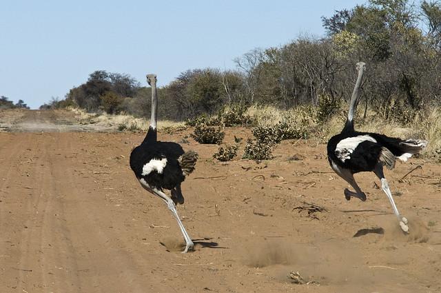 От остальных же хищников страусы успешно убегают / Фото: russkie-perepela.ru