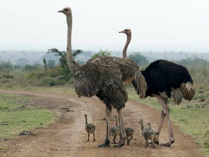 В большинстве случаев страусы живут парами, и в случае опасности один охраняет потомство, а другой занимает оборонительные позиции / Фото: russkie-perepela.ru