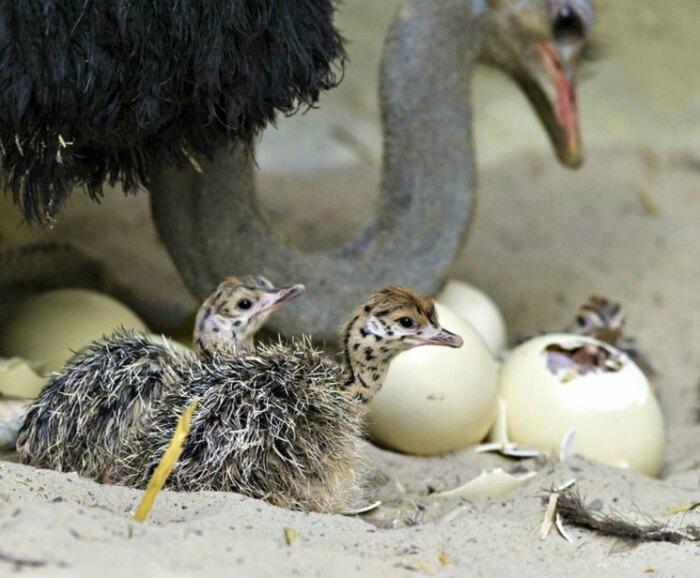 Избежать гибели, постоять за себя и свое потомство страусы вполне способны / Фото: dachadesign.ru