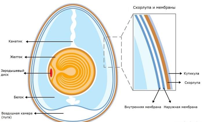 У яйца есть два составляющих: желток, масса которого составляет около 1/3 массы яйца, и белок, имеющий 2/3 массы / Фото: russkie-perepela.ru