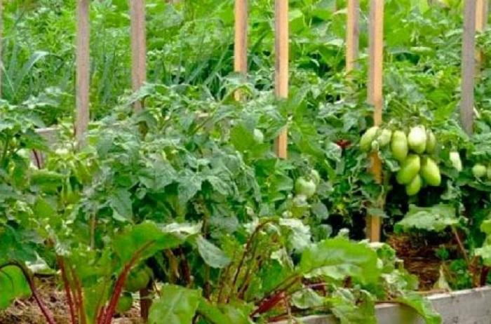 Опытные томатоводы рекомендуют высаживать свеклу рядом с помидорами / Фото: prostayaferma.ru