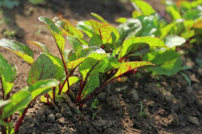 По окрасу листьев свеклы можно определить кислотность почвы / Фото: svoyabesedka.ru