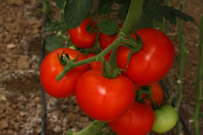 Высаживая по соседству с помидорами правильные культуры, можно получить богатый урожай / Фото: shneorseed.com