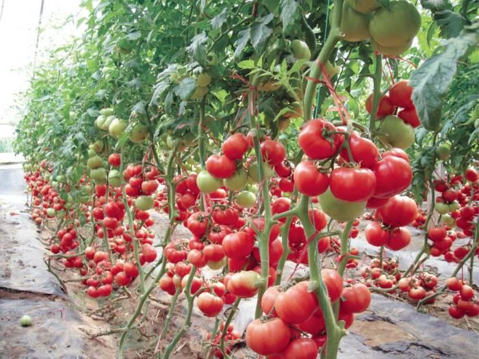 Бор - важный химический элемент для роста и созревания помидоров / Фото: kartoska.ru