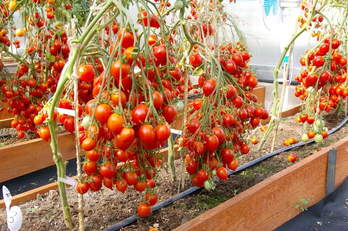 Это является хорошим удобрением для томатов и способствует их активному росту / Фото: sort-tomat.ru