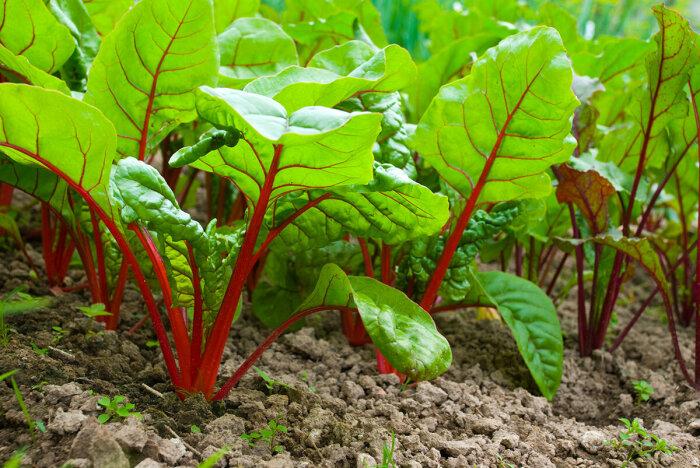 Чем бора в грунте больше, тем листья у свеклы будут здоровее и крупнее / Фото: yandex.ru