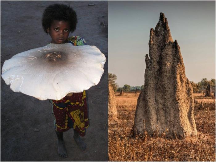 В естественной природе самостоятельно грибы выжить не способны, им требуется огромное количество питательных веществ, доставку которых обеспечивают термиты / Фото: animalworld.com.ua