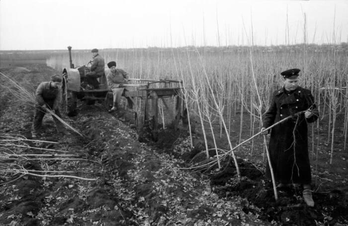 В Советском Союзе после ВОВ активно начали высаживать тополя / Фото: nv.ua