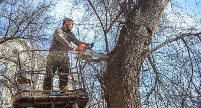 Старые тополя активно вырубают, высаживая вместо них новые сорта деревьев / Фото: mrrestavrator.ru