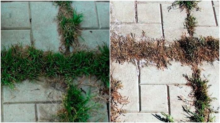 Спустя 10-12 часов после обработки трава потемнеет и начнет сохнуть / Фото: hand-workshop.ru